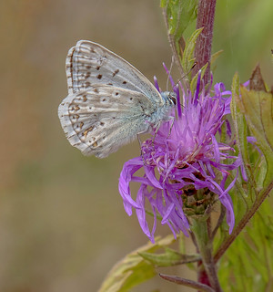 DSC9627  Chalkhill Blue..