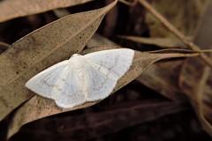 alada (valeriavieira) Tags: borboleta butterfly folhas leaf natureza nature fauna faunabrasileira suldobrasil santamaria nikon vvaleriavieira bio biologia mariposa moth fotografiadenatureza photography