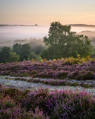 Rockford Common (2018) 1 (Stu Meech) Tags: the new forest hampshire heather mist sunrise summer rockford common nikon d750 70200 leefilters
