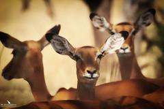 Female Impala (pbmultimedia5) Tags: antelope impala female serengeti national park tanzania animal wildlife herd tree grassland savannah pbmultimedia