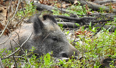 Sus scrofa (Vulpe Photographie) Tags: animal mammifère bois sanglier wildboar wildlife wildlifephoto wildlifephotography nature france normandie normandy nikon p900 coolpix
