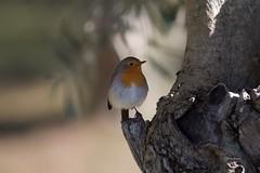 Pisco (Carlos Santos - Alapraia) Tags: pisco ngc ourplanet animalplanet canon nature natureza wonderfulworld highqualityanimals unlimitedphotos fantasticnature birdwatcher ave bird pássaro