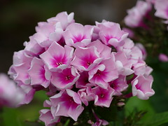 'Bright Eyes' phlox (lovesdahlias 1) Tags: phlox flowers blossoms gardens nature summer newengland