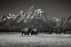 Staredown (jreyt27510) Tags: bison bw blackwhite monochrome nature mountains tetons us usa wildlife meadow outdoor