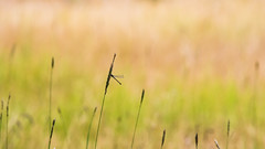 All in focus #17 (ZeGaby) Tags: bokeh dragonfly libellule nature naturephotography pentaxda300mm pentaxk1 wildlife parc du marquenterre parcdumarquenterre saintquentinentourmont hautsdefrance france fr