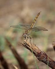 Brachythemis impartita (F) (J Carrasco (mundele)) Tags: coria extremadura insectos odonatos anisoptera libellulidae brachythemis