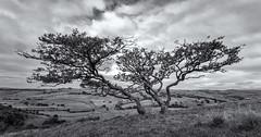 Trio (l4ts) Tags: landscape derbyshire peakdistrict darkpeak bradwell bradwelldale bleakknoll trees