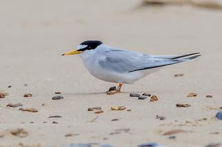 DSC7189 Little Tern..