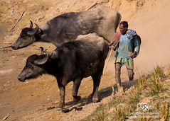 Familiarity (Suman Kalyan Biswas) Tags: portrait outdoor buffalo shepherd animals ruralindia india village people bengal westbengal culture tradition cowboy cattleman domesticanimals photography travel travelphotography nakashipara