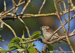 Chipping Sparrow (doc ellen) Tags: jordanlake chippingsparrow chippingsparrowfeeding insect jordanlakestatepark songbird flycatcher