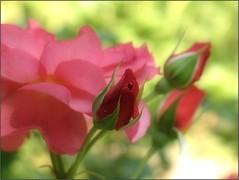 (Tölgyesi Kata) Tags: withcanonpowershota620 botanicalgarden rose rózsa flower mosaic botanikuskert füvészkert rosen rosa rosier blossom fleur virág budapest pinkflower