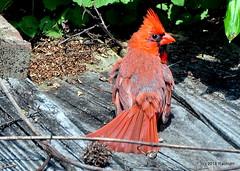 DSC_0390 (RachidH) Tags: birds oiseaux snow cardinal redbird northerncardinal cardinaliscardinalis cardinalrouge sparta nj rachidh nature