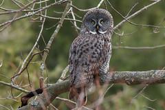 Great Gray Owl (NicoleW0000) Tags: greatgrayowl owl birdofprey bird wild wildlife woods forest trees ontario