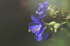 beltin' out the blues (rockinmonique) Tags: flower bloom blossom petal stamen pistil macro bokeh light blue green moniquewphotography canon canont6s tamron