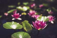 water lily (T. Kaiser) Tags: waterlily seerose ilce7rm3 sonyilce7rm3 sony 35mmf14dghsm|art012 sigma italien italy lagomaggiore intra pallanza piemont blume flower botanicalgardensofvillataranto giardinibotanicivillataranto 35mm bokeh thilokaiserphotography