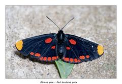 Red bordered pixie (Jan H. Boer, Nature photographer) Tags: melanispixe redborderedpixie butterflies insects nature macro costarica turrúcares mybackyard nikon d500 jan´sphotostream2018
