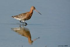 Agulla (Enllasez - Enric LLaó) Tags: agujacolinegra aves aus bird birds ocells pájaros 2018 deltadelebre deltadelebro delta
