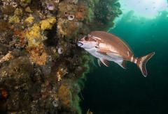 Cheilodactylus fuscus - Red morwong (Marine Explorer) Tags: scuba nature marine underwater australia marineexplorer rx100 compact sony