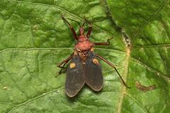 Hemiptera, Platymeris sp. (Giant Assassin Bug) - Entebbe, Uganda (Nick Dean1) Tags: hemiptera animalia arthropoda arthropod hexapoda hexapod insect insecta platymeris assassinbug assassin bug entebbe uganda
