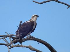 Osprey (AdamsWife) Tags: westernaustralia wildlife westernaustralianbird bird birdlife osprey birdofprey pandionhaliaetus westernosprey raptor nature nativebird tree