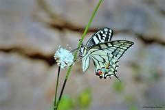 Machaon. Papillon (Dominique Dufour) Tags: machaon papillon butterflie nature macrophoto proxiphoto fuji fujis5pro sigma10528macro dominiquedufourphoto dominiquedufourflickr dominiquedufour