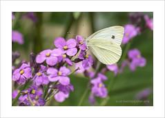 Butterfly responsible for chaos (prendergasttony) Tags: theroy nikon d7200 tonyprendergast nature gardenersworld papillion garden pierisrapae smallwhite