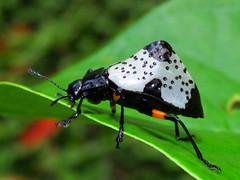 Hump-backed pleasing fungus beetle Gibbifer borgmeieri (Coleoptera: Erotylidae) (luismiguel.constantino1) Tags: erotylidae gibbifer coleoptera neotropical colombia
