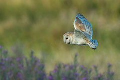 Barn Owl (Simon Stobart) Tags: barn owl tyto alba flying northeast england purple flowers uk coth5 ngc npc