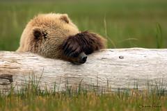 Sunday Morning (Sharon's Nature) Tags: natgeo mammal nature wild silversalmoncreeklodge lakeclarknationalpark alaska canon ursusarctos bear grizzly coastalbrownbear