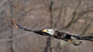 Juvenile Bald Eagle Along The River Shore Line