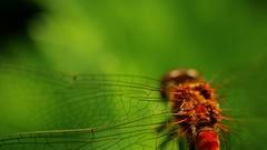 frame-000028 (Beaver-) Tags: macro dragonfly pickle tomato flower