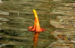 Serenidade (verridário) Tags: sony flower flor water água leau blumen sentimental macro minimalismo one um uno nature flora naturaleza yellow jaune amarillo amarelo reflex image une orange simple