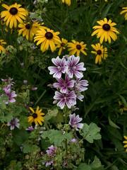 P7300850 (Copy) (pandjt) Tags: binghamtonny binghamton ny travelogue cutlerbotanicgarden garden scenicgarden cutlergarden botanicgarden blackeyedsusan