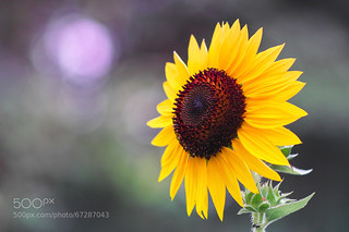 Sunflower by JerasakSriratana