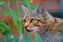 Nice to meet you (Nicky@Photography) Tags: animal chatsauvagedeurope zoo parcanimalier saintmartinlaplaine loire france