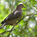 Short-billed Pigeon, Patagioenas nigrirostris_199A6723