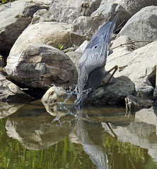 Yellow crowned night heron going after something in the water (2 of 6) (carpingdiem) Tags: yellowcrownednightheron crawfish indianapolis summer 2018 intech