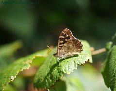 Speckled Wood Butterfly (nrich1050) Tags: m1240mmf28 omd em5 olympus mzuiko zuiko m1240 speckledwood butterfly
