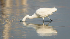 Snowy Egret (Bob Gunderson) Tags: birds california egrets egrettathula northerncalifornia pier94saltmarsh sanfrancisco snowyegret wadingbirds