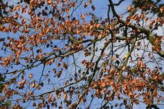 Copper/Blue (Tony Tooth) Tags: nikon d7100 nikkor 55300mm leaves deadleaves tree copper blue sky warslow staffs staffordshire