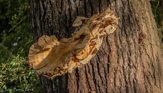 Chicken of the Woods Fungus (Laetiporus sulphureus)