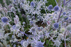 Sea Holly (gabi-h) Tags: seaholly flowers perennial gabih garden blooms blue fractal pattern shapes purple spiny prickles