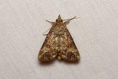 Erebidae, Hypocalinae, Hypocala plumicornis - Kibale, Uganda (Nick Dean1) Tags: animalia arthropda arthropod lepidoptera moth erebidae hypocalinae hypocala kibale uganda