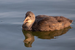 IMG_1258 (d_propp) Tags: lakebeaumaris waterfowl august goldenhour light lightroomcc coot commoncoot