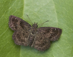 Hayhurst's Scallopwing 2 (brian.magnier) Tags: new jersey nature wildlife animals outdoors