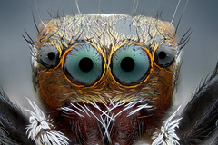 Salticidae (Pasquale Alfieri) Tags: nikon canon objective microscope stacking bellows nature animal color wild spider jump jumping macro micro portrait