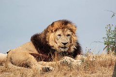 King Dudley (K.Verhulst) Tags: dudley afrikaanseleeuwen africanlions lions leeuwen cats wildlands wildlandsadventurezoo emmen