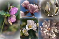 Postcard from Abberley Park (Jocey K) Tags: helleborus winterrose newzealand nikond750 christchurch flowers postcard collage buds raindrops