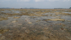 Seagrasses at Beting Bemban Besar, Aug 2018 (wildsingapore) Tags: betingbembanbesar seagrasses island singapore marine coastal intertidal shore seashore marinelife nature wildlife underwater wildsingapore