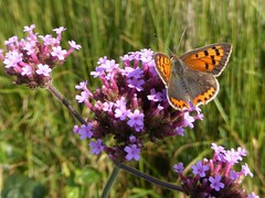 Garden safari, Kleine vuurvlinder - Lycaena phlaeas (Alta alatis patent) Tags: butterfly kleinevuurvlinder lycaenaphlaeas